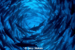 1000 Blue Fin Tuna..... by Gary Stokes